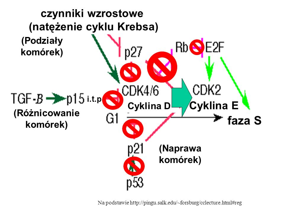 (natężenie cyklu Krebsa) (Różnicowanie komórek)