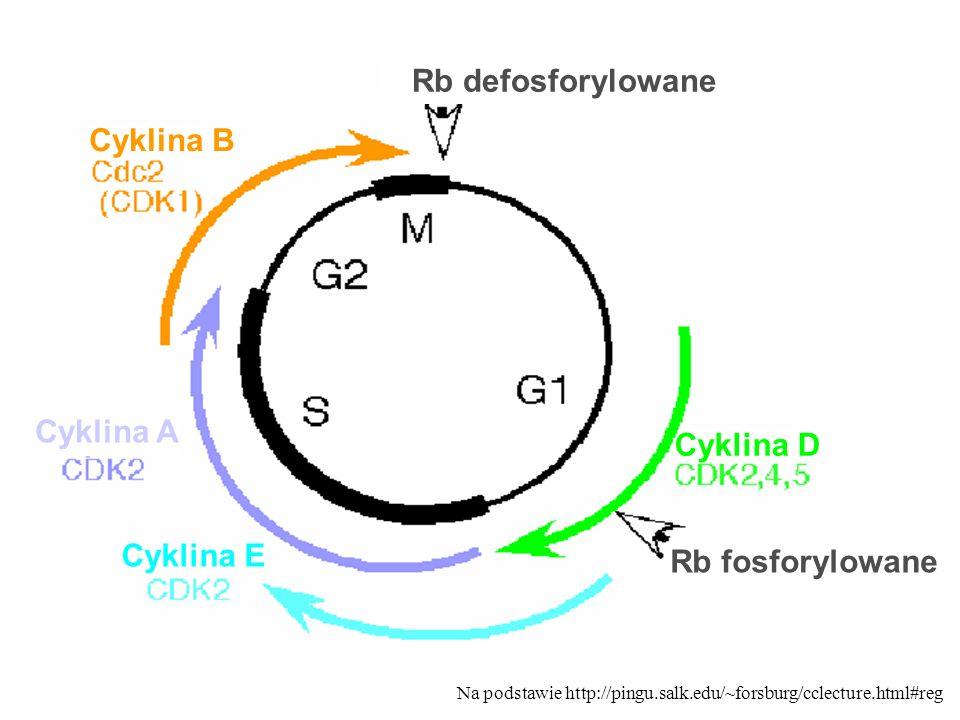 Rb defosforylowane Cyklina B Cyklina A Cyklina D Cyklina E