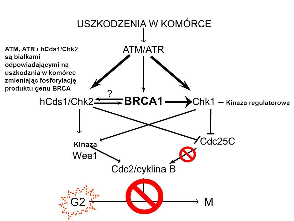 BRCA1 G2 M USZKODZENIA W KOMÓRCE ATM/ATR hCds1/Chk2