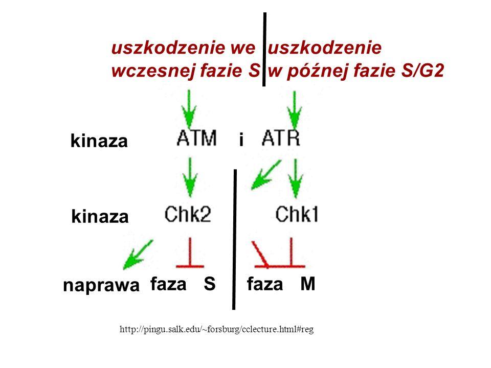 kinaza naprawa faza S faza M i