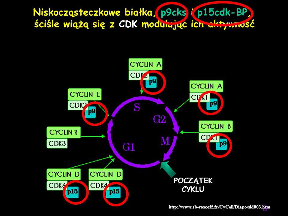 Niskocząsteczkowe białka, p9cks i p15cdk-BP,