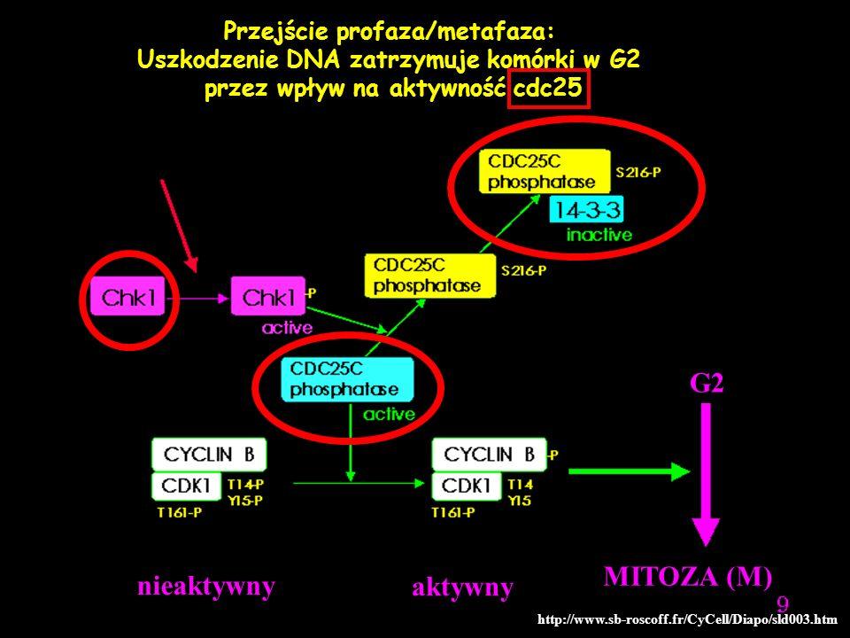 G2 MITOZA (M) nieaktywny aktywny Przejście profaza/metafaza: