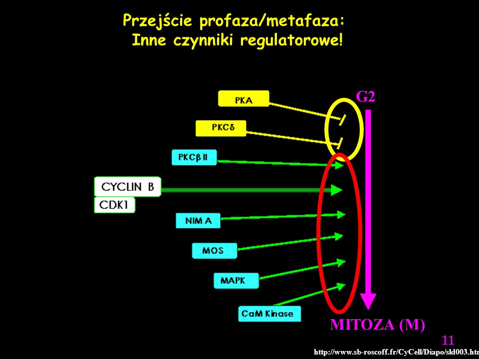 Przejście profaza/metafaza: Inne czynniki regulatorowe!