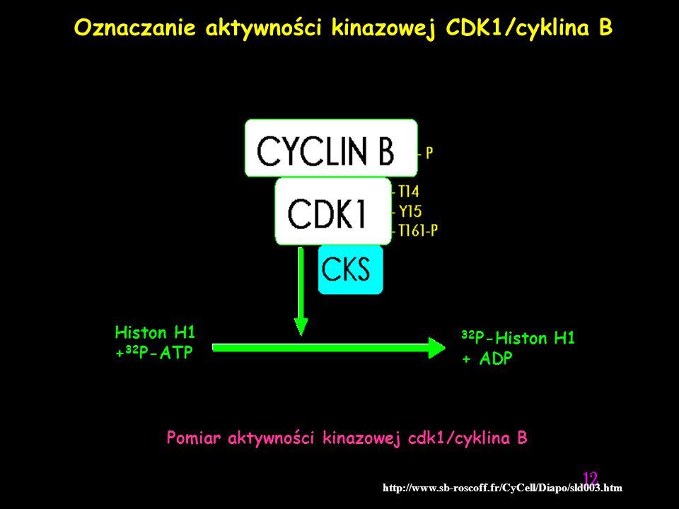 Oznaczanie aktywności kinazowej CDK1/cyklina B
