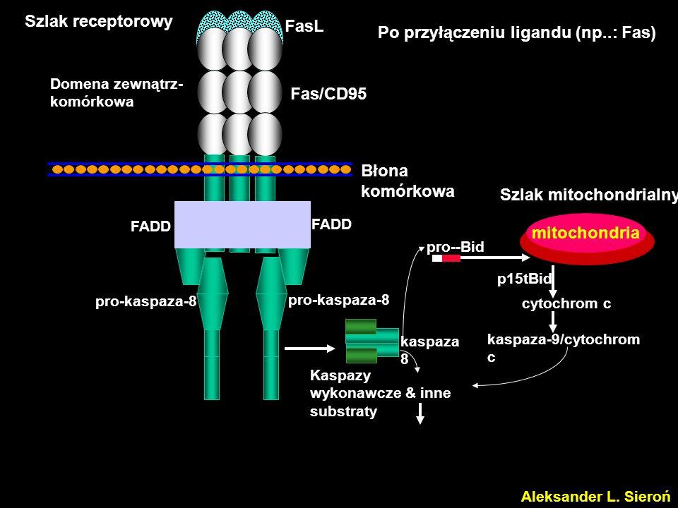 Po przyłączeniu ligandu (np..: Fas)