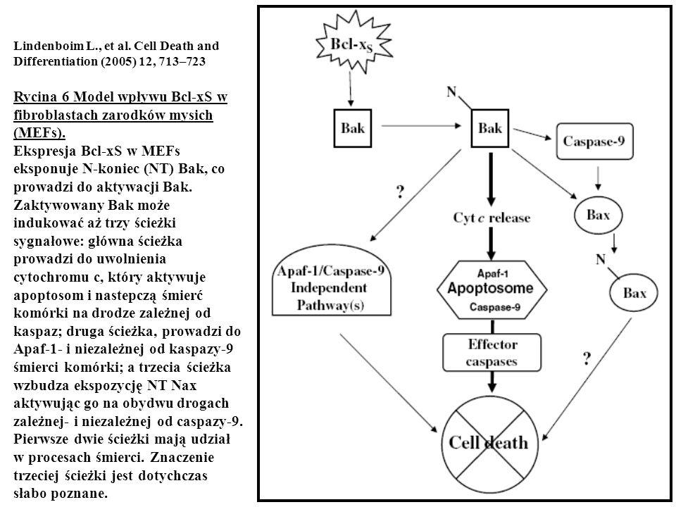 Rycina 6 Model wpływu Bcl-xS w fibroblastach zarodków mysich (MEFs).