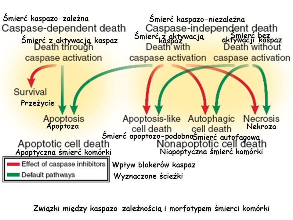 Śmierć kaspazo-zależna Śmierć kaspazo-niezależna