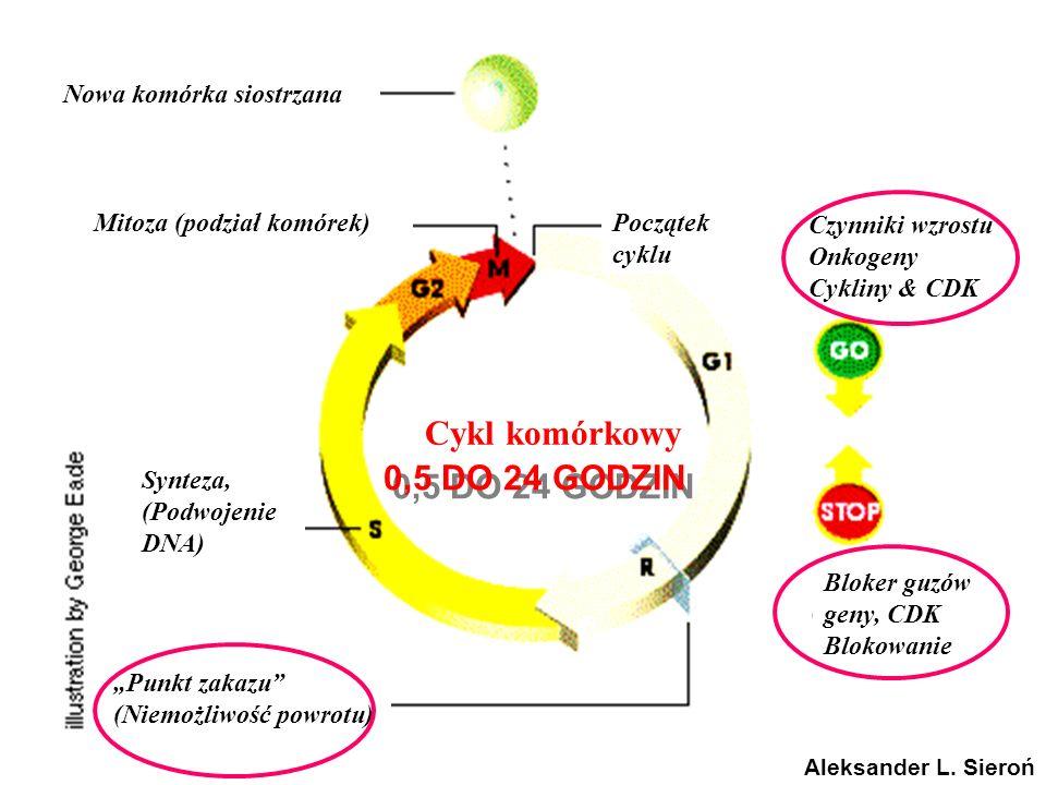 Cykl komórkowy 0,5 DO 24 GODZIN Nowa komórka siostrzana
