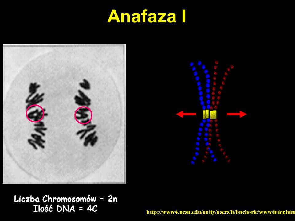 Anafaza I Liczba Chromosomów = 2n Ilość DNA = 4C