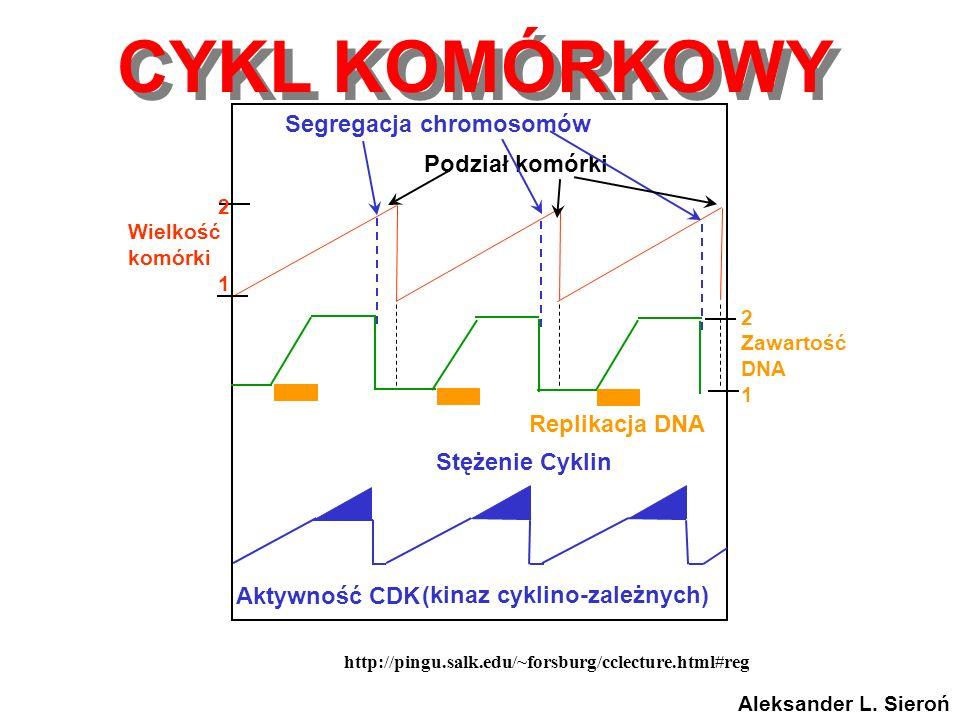 Segregacja chromosomów (kinaz cyklino-zależnych)