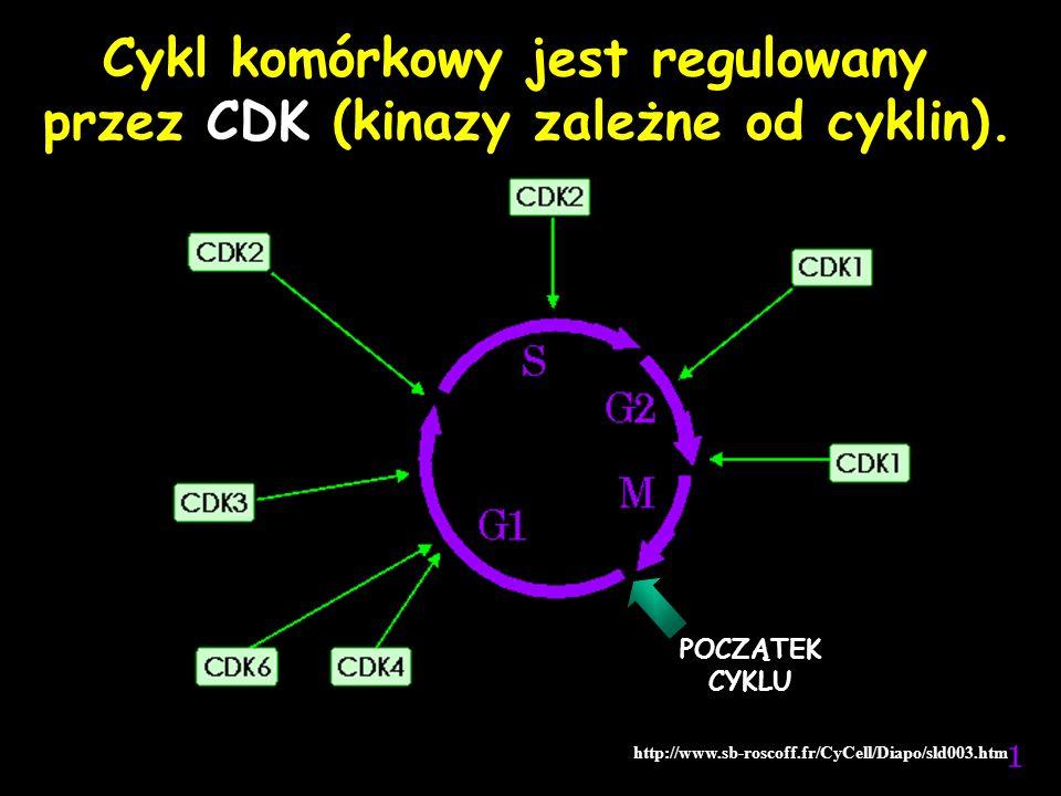 Cykl komórkowy jest regulowany przez CDK (kinazy zależne od cyklin).