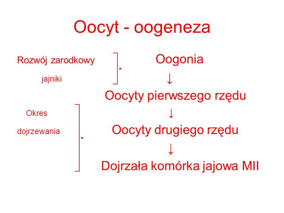 Oocyt - oogeneza jajniki ↓ Oocyty pierwszego rzędu ↓