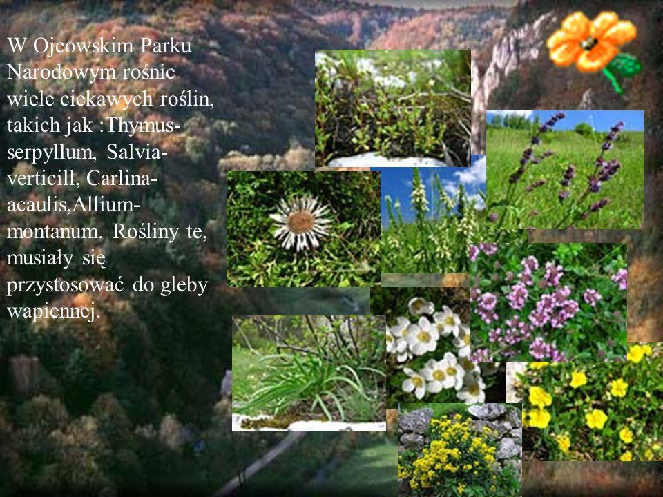 W Ojcowskim Parku Narodowym rośnie wiele ciekawych roślin, takich jak :Thymus-serpyllum, Salvia-verticill, Carlina-acaulis,Allium-montanum.