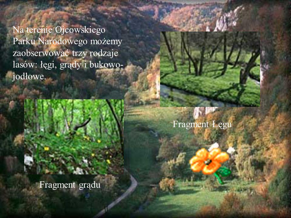 Na terenie Ojcowskiego Parku Narodowego możemy zaobserwować trzy rodzaje lasów: łęgi, grądy i bukowo-jodłowe.