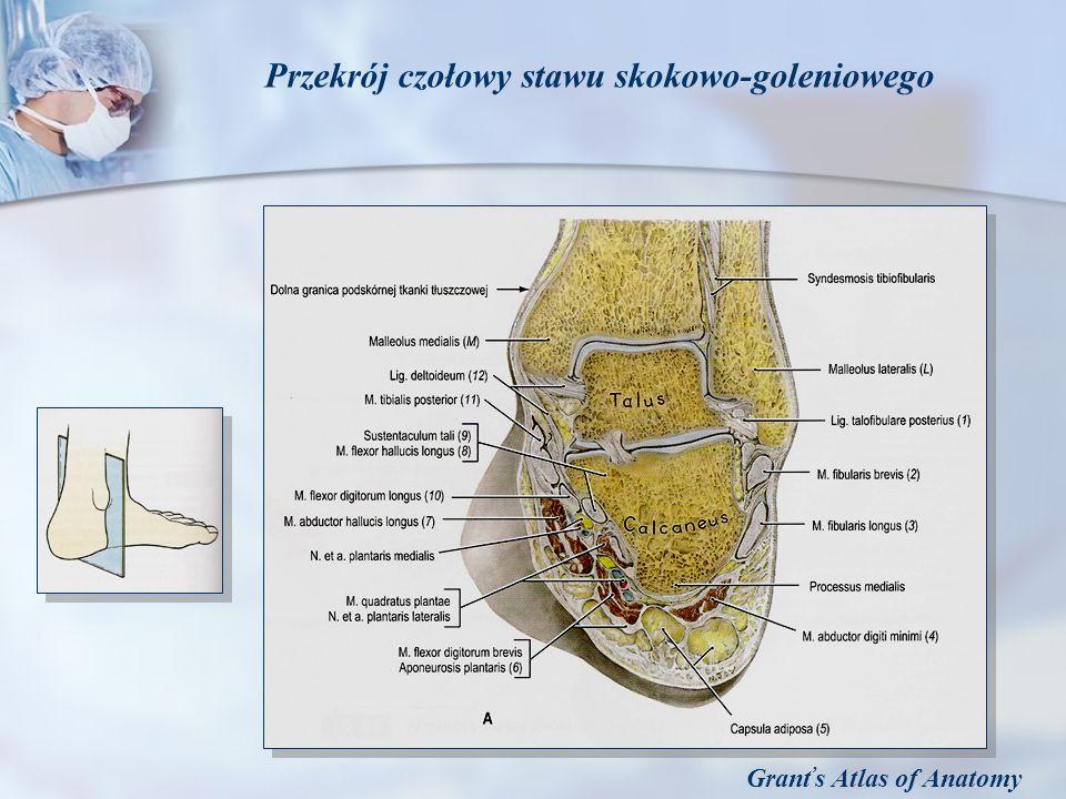 Przekrój czołowy stawu skokowo-goleniowego