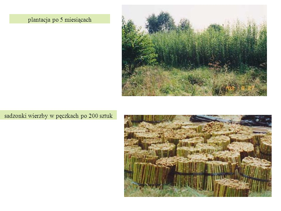 plantacja po 5 miesiącach