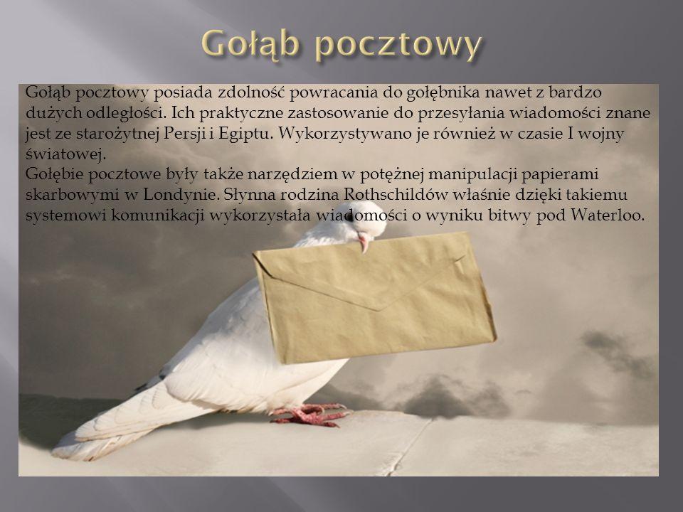 Gołąb pocztowy