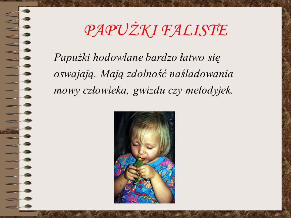 PAPUŻKI FALISTE Papużki hodowlane bardzo łatwo się