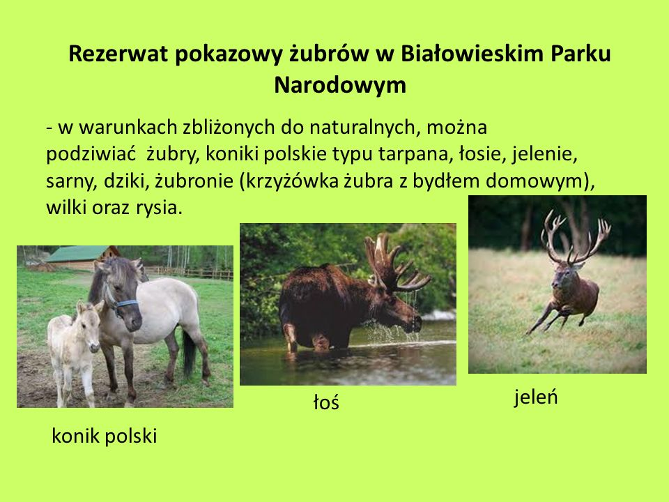 Rezerwat pokazowy żubrów w Białowieskim Parku Narodowym