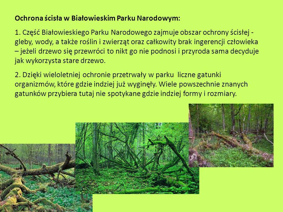 Ochrona ścisła w Białowieskim Parku Narodowym: