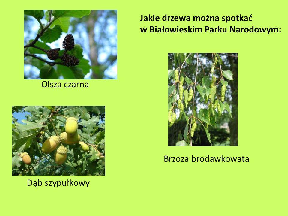 Jakie drzewa można spotkać w Białowieskim Parku Narodowym: