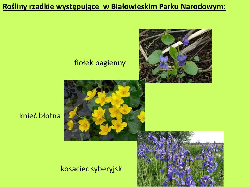 Rośliny rzadkie występujące w Białowieskim Parku Narodowym:
