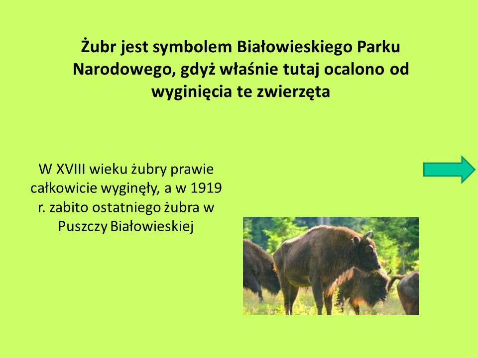 Żubr jest symbolem Białowieskiego Parku Narodowego, gdyż właśnie tutaj ocalono od wyginięcia te zwierzęta