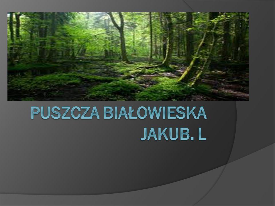 Puszcza Białowieska Jakub. l
