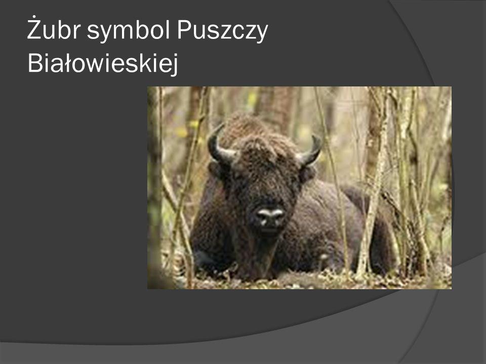 Żubr symbol Puszczy Białowieskiej