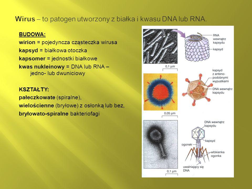 Wirus – to patogen utworzony z białka i kwasu DNA lub RNA.