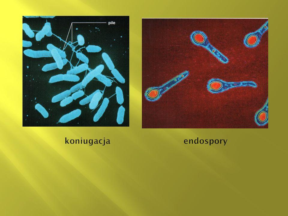 koniugacja endospory