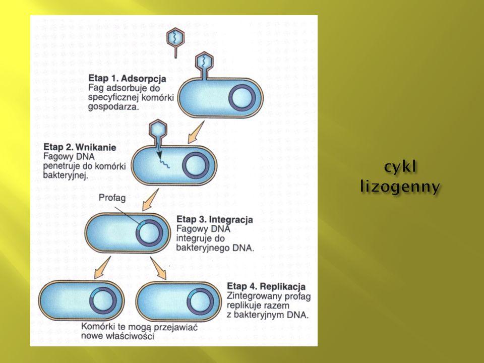 cykl lizogenny