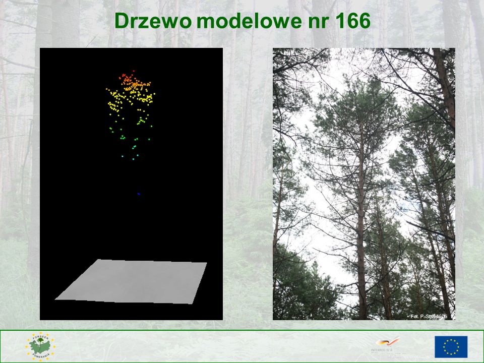 Drzewo modelowe nr 166 Fot. P. Strzeliński