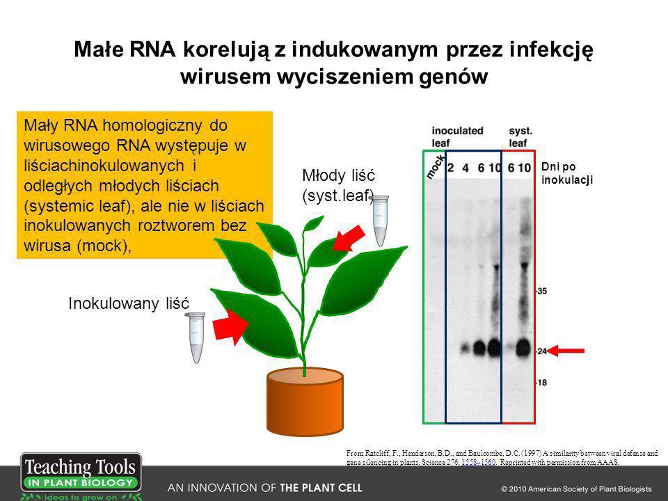 Małe RNA korelują z indukowanym przez infekcję wirusem wyciszeniem genów