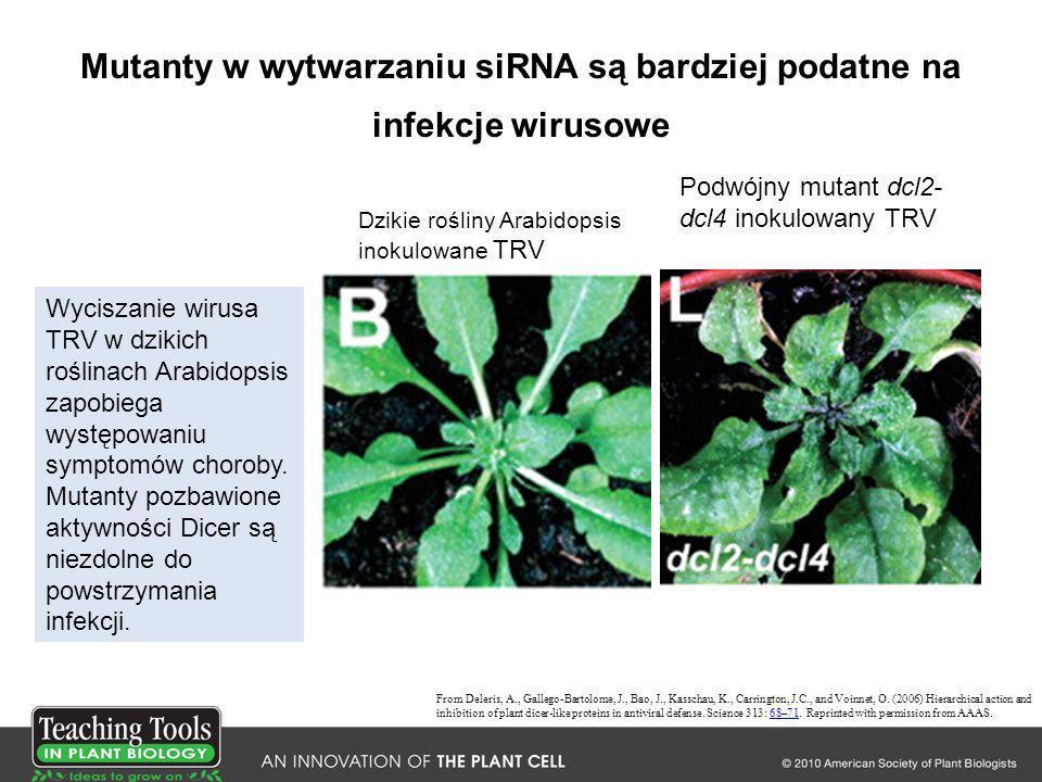 Mutanty w wytwarzaniu siRNA są bardziej podatne na infekcje wirusowe