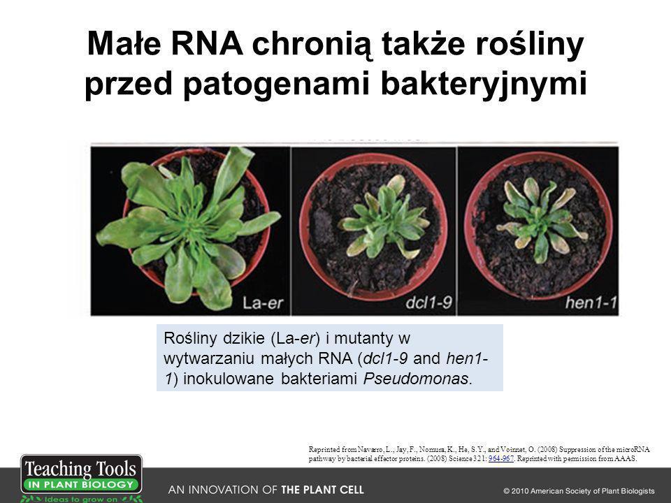 Małe RNA chronią także rośliny przed patogenami bakteryjnymi