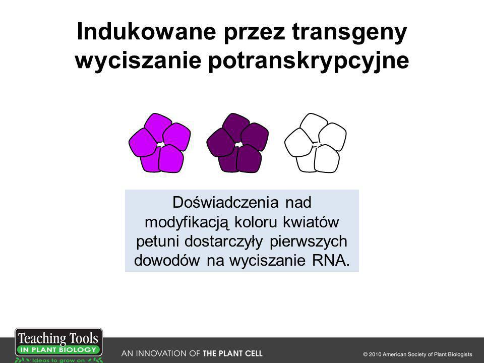 Indukowane przez transgeny wyciszanie potranskrypcyjne