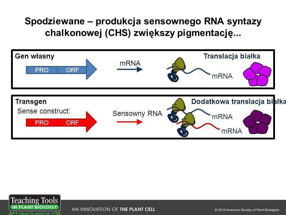 Spodziewane – produkcja sensownego RNA syntazy chalkonowej (CHS) zwiększy pigmentację...