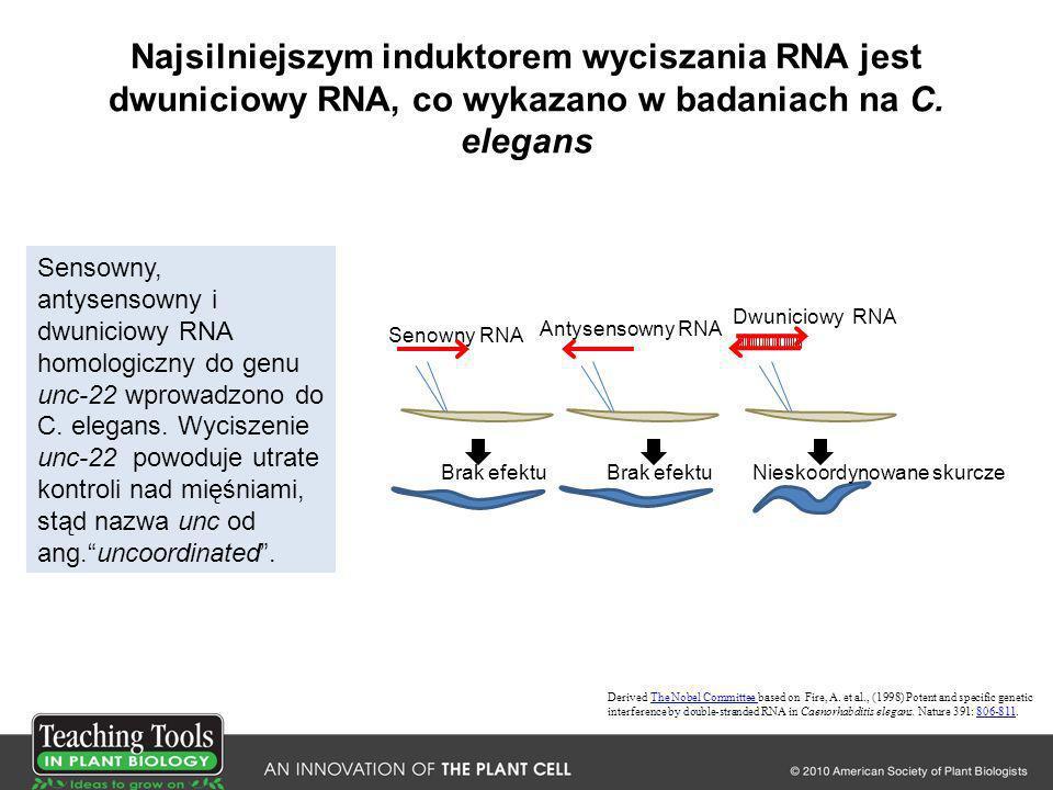 Najsilniejszym induktorem wyciszania RNA jest dwuniciowy RNA, co wykazano w badaniach na C. elegans