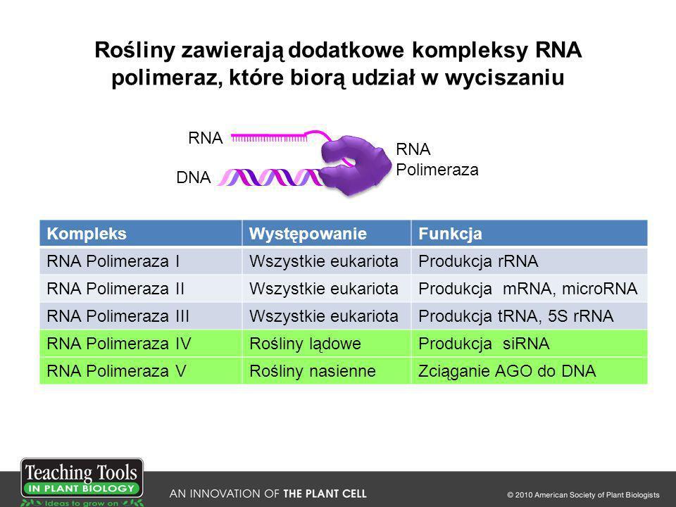 Rośliny zawierają dodatkowe kompleksy RNA polimeraz, które biorą udział w wyciszaniu