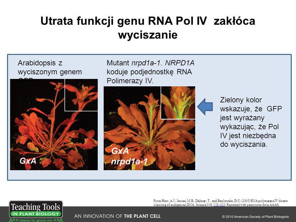 Utrata funkcji genu RNA Pol IV zakłóca wyciszanie