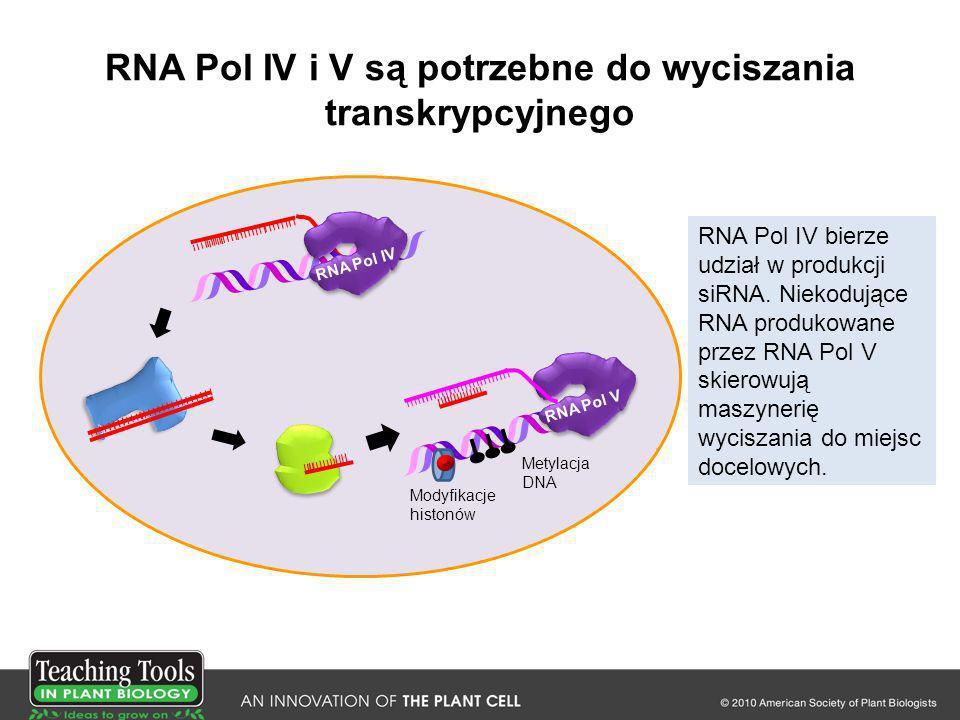 RNA Pol IV i V są potrzebne do wyciszania transkrypcyjnego