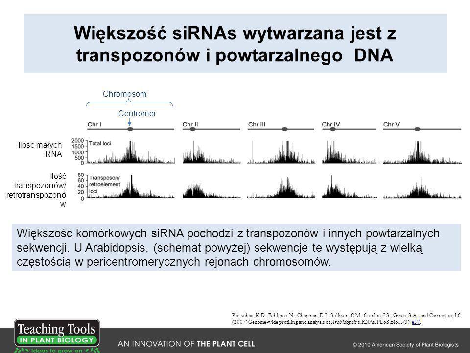 Większość siRNAs wytwarzana jest z transpozonów i powtarzalnego DNA