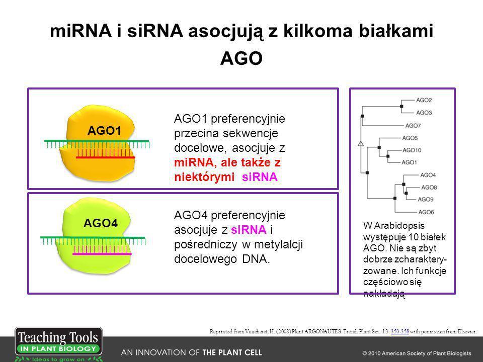 miRNA i siRNA asocjują z kilkoma białkami AGO