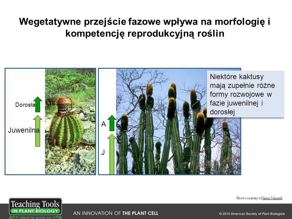 Wegetatywne przejście fazowe wpływa na morfologię i kompetencję reprodukcyjną roślin