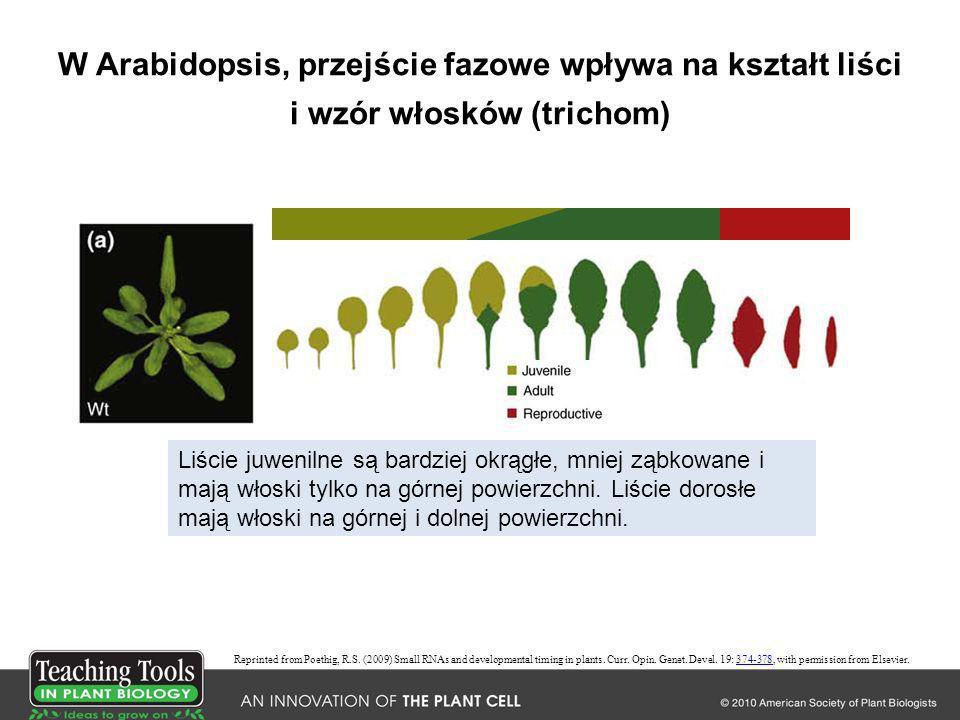 W Arabidopsis, przejście fazowe wpływa na kształt liści i wzór włosków (trichom)