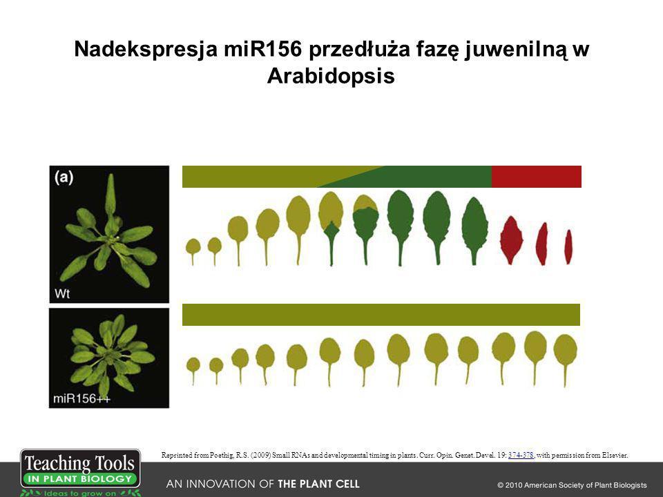 Nadekspresja miR156 przedłuża fazę juwenilną w Arabidopsis