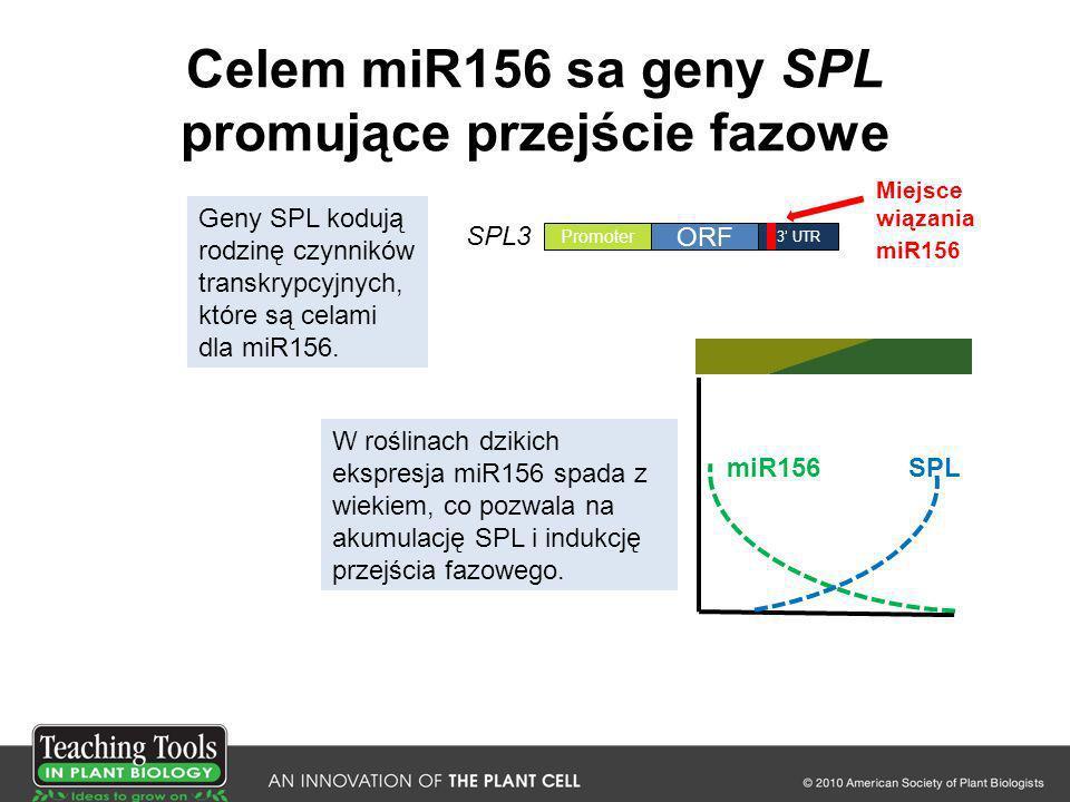 Celem miR156 sa geny SPL promujące przejście fazowe