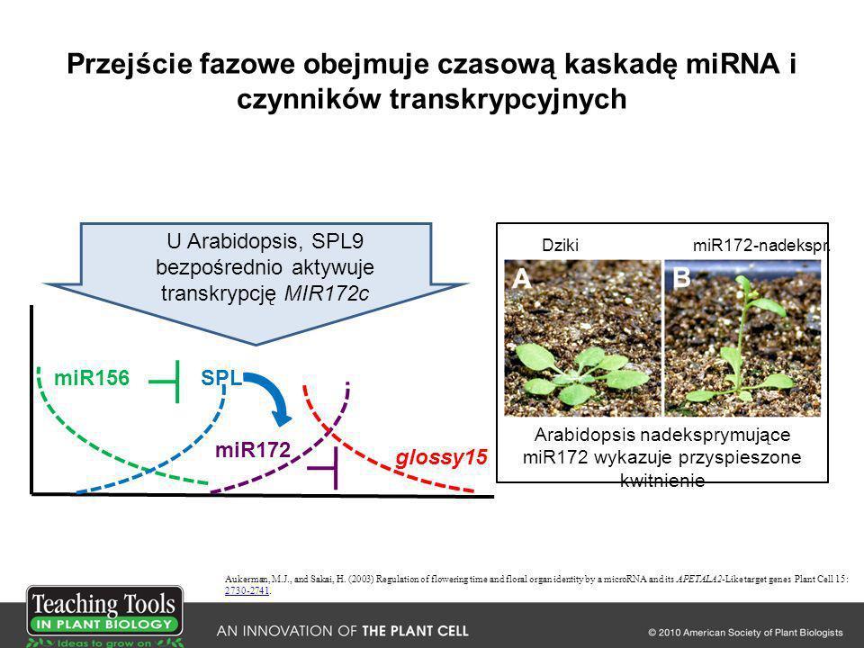 Przejście fazowe obejmuje czasową kaskadę miRNA i czynników transkrypcyjnych