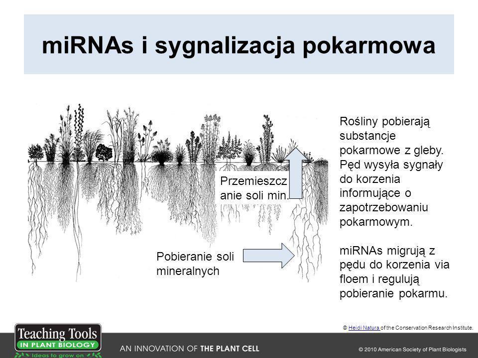miRNAs i sygnalizacja pokarmowa